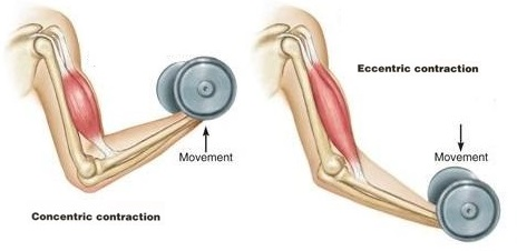 Eccentric muscle contraction biceps