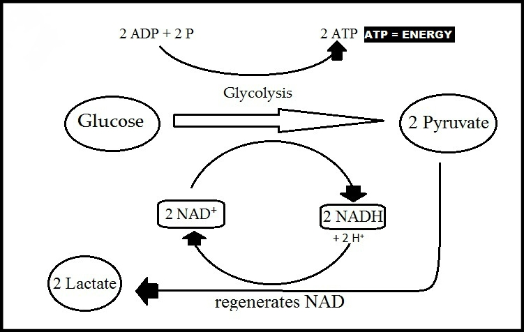 Lactic Acid Metabolism